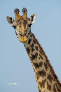 giraffeuteach111
